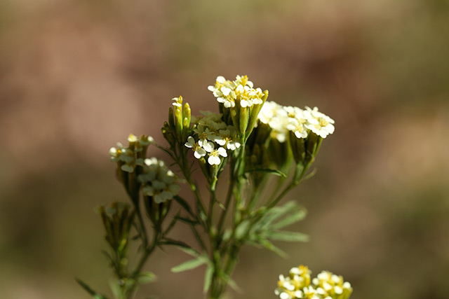 A native plant from South America proven to boost stomach and gut health WITHOUT the side effects